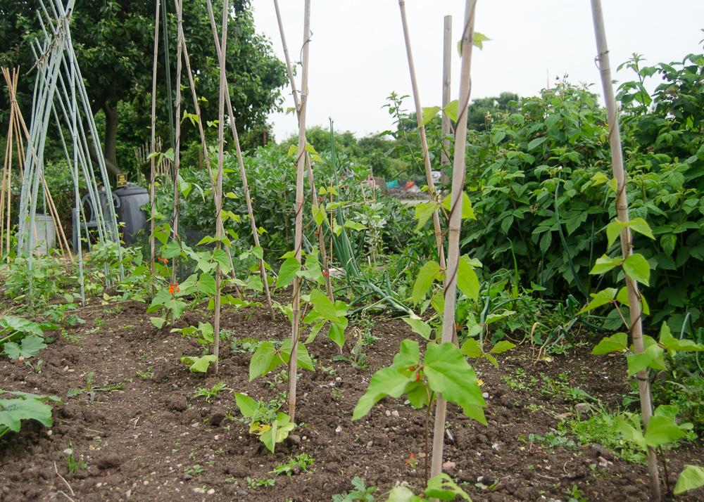 vegetable gardening for beginners - runner beans