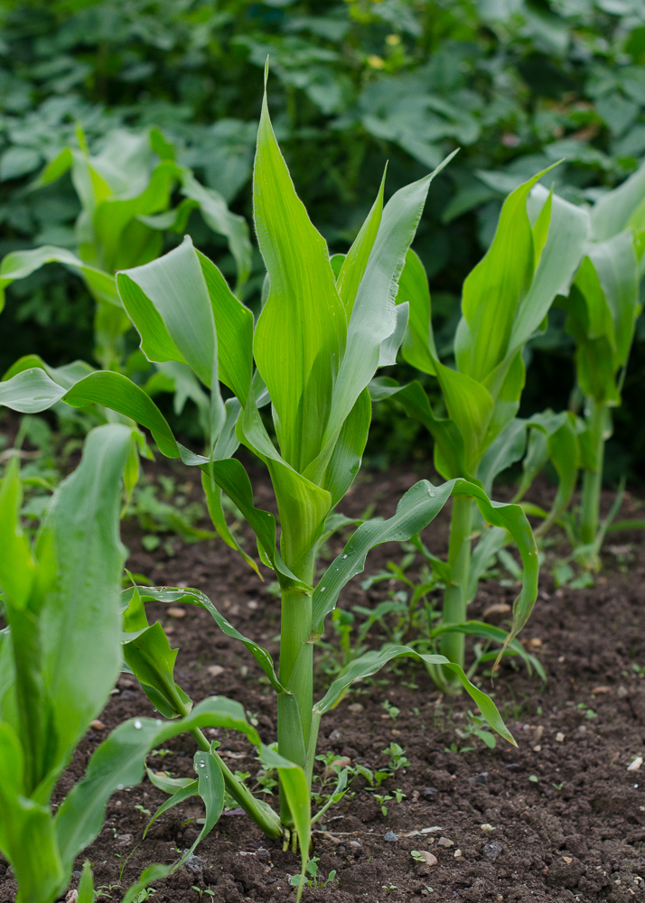 grow-your-own photographic diary 2 sweetcorn