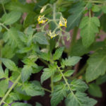 grow-your-own photographic diary 2 tomato plant