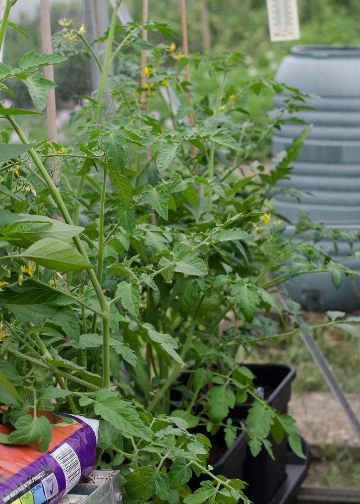 grow-your-own photographic diary 2 tomato plants