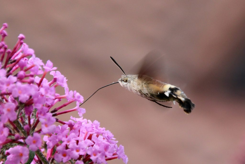 hummingbird hawk moth - one of the many nocturnal wildlife species you can spot during the rspb big wild sleepout