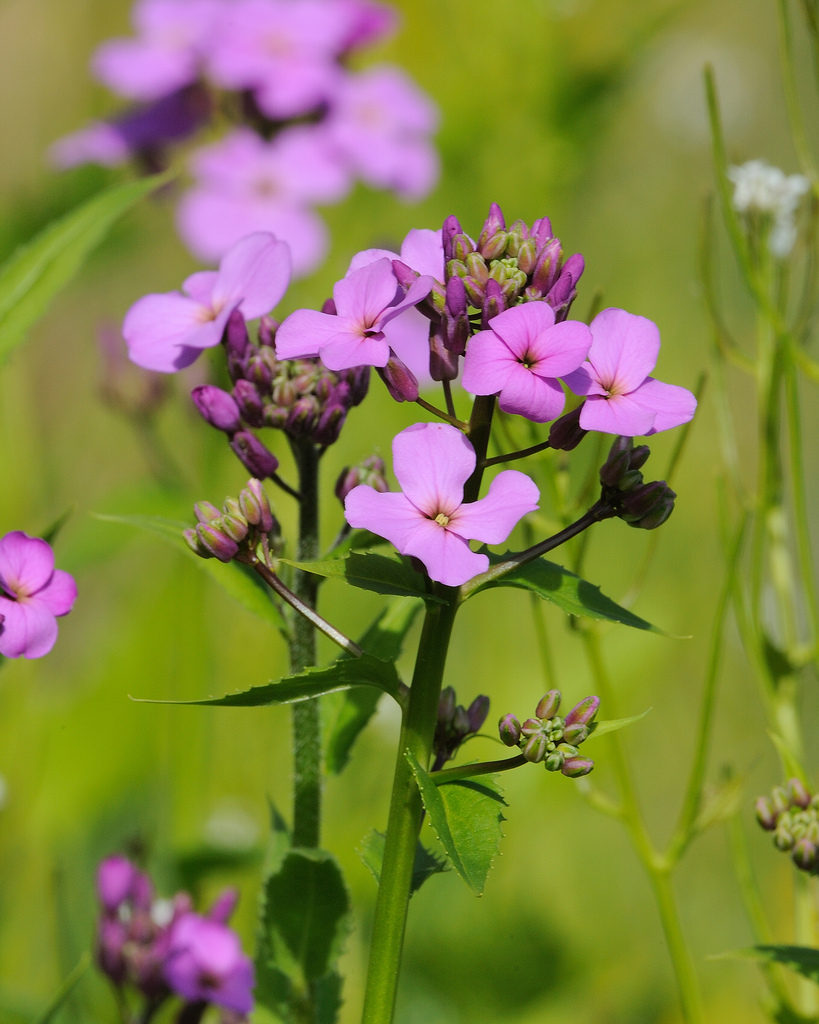 sweet rocket is a great nectar rich plant to attract moths to your garden