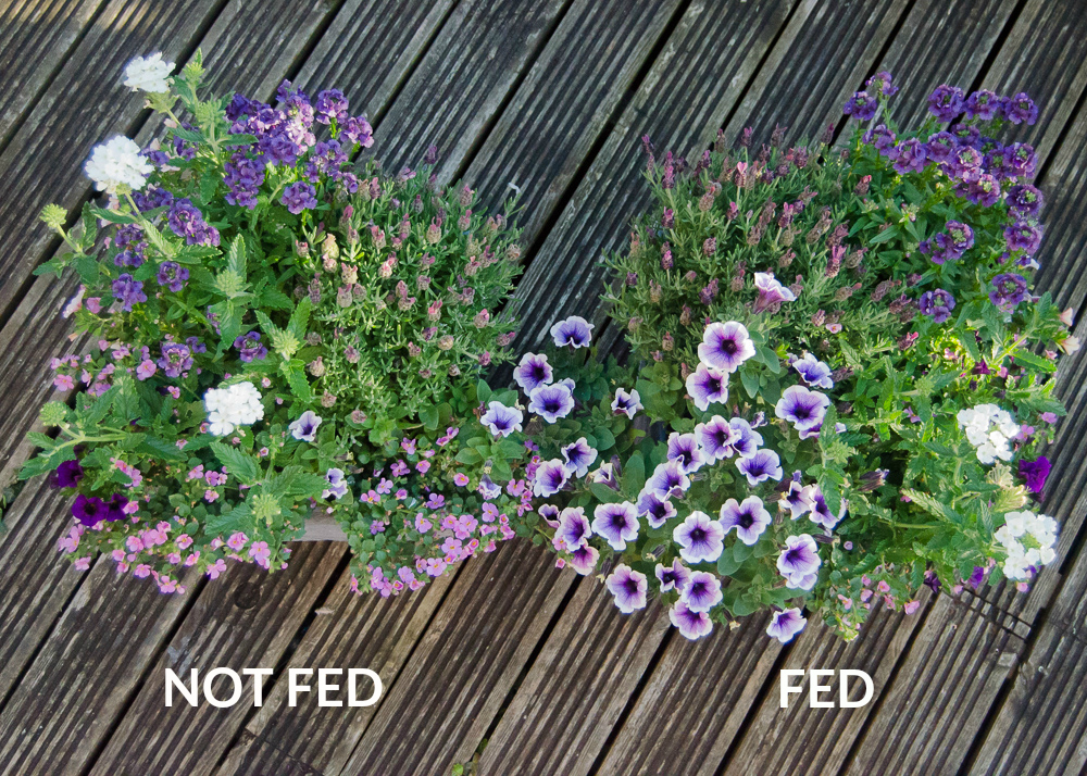 comparing the effects of using baby bio outdoor plant food on summer container plants