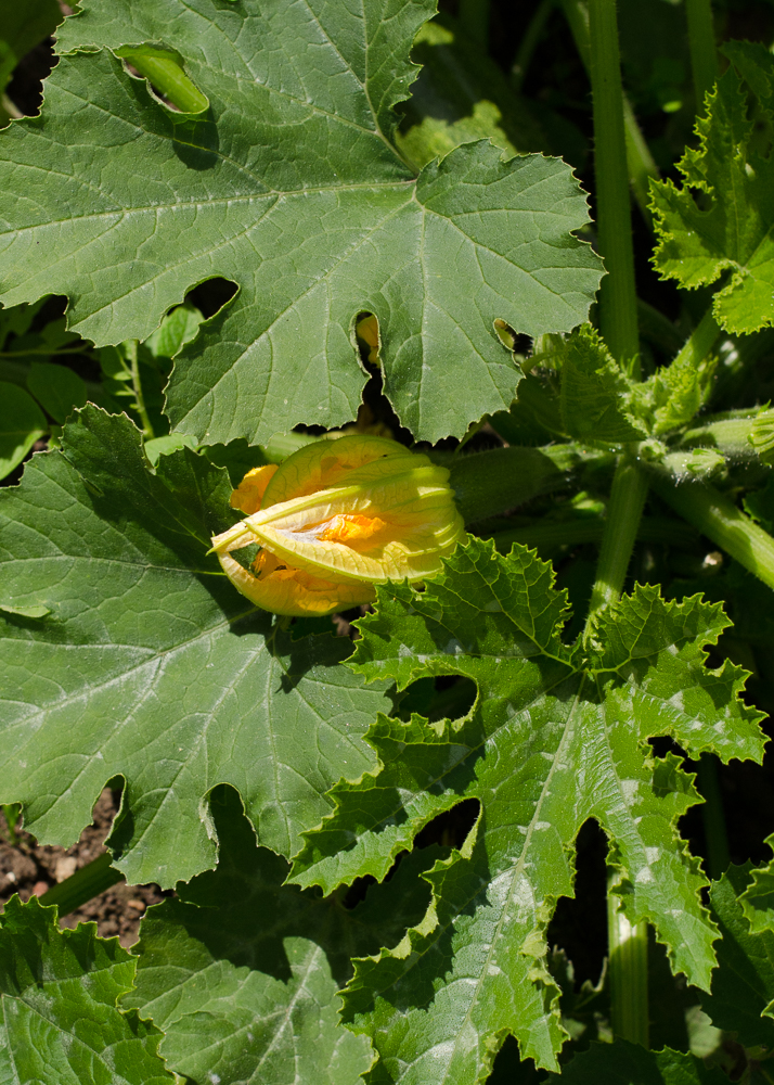 grow-your-own photographic diary 3 courgette flower