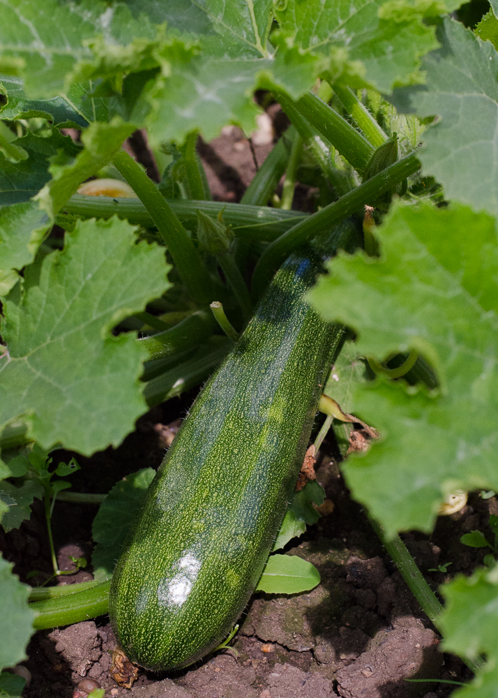 grow-your-own photographic diary 3 courgette