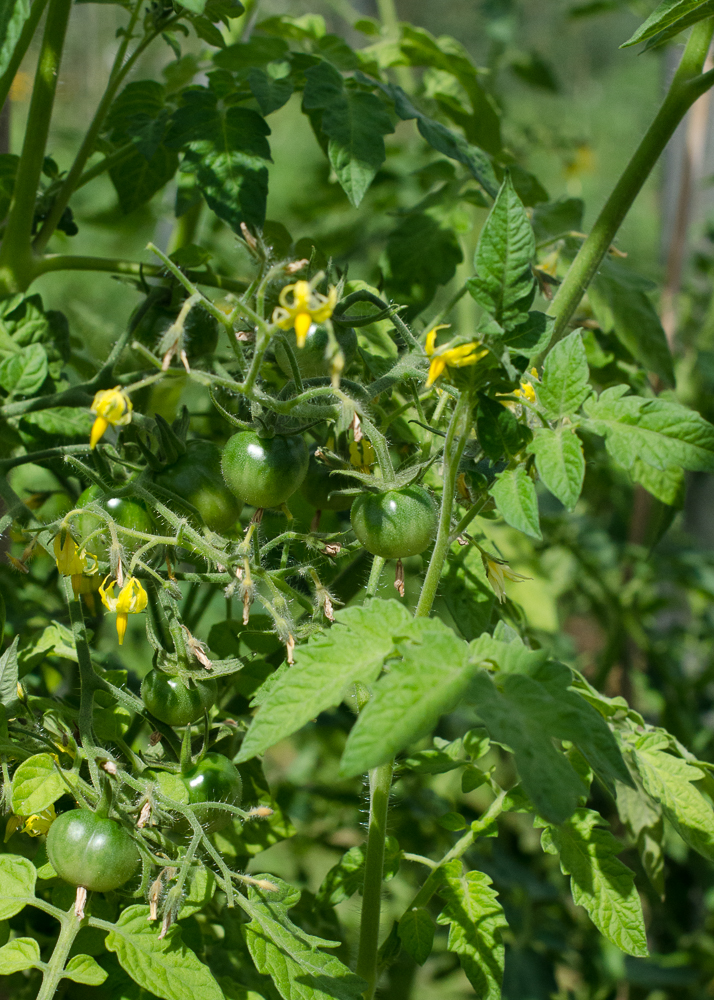 grow-your-own photographic diary 3 tomatoes
