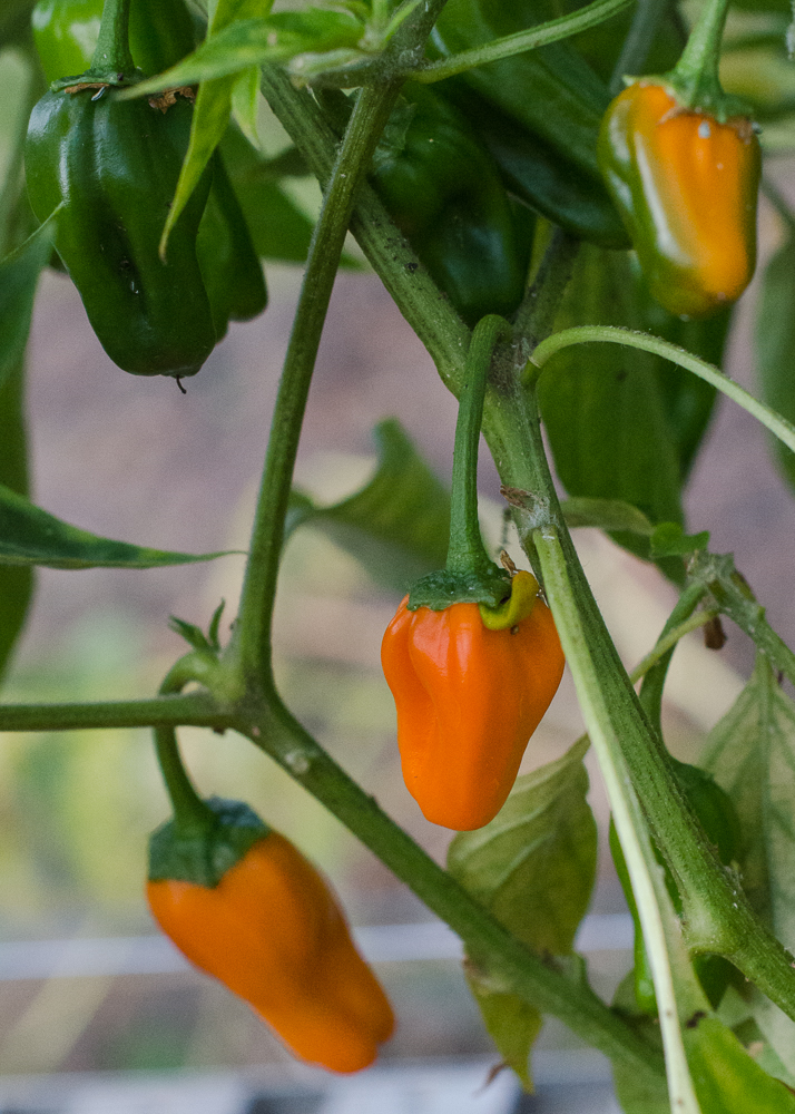 grow-your-own photographic diary chilli peppers