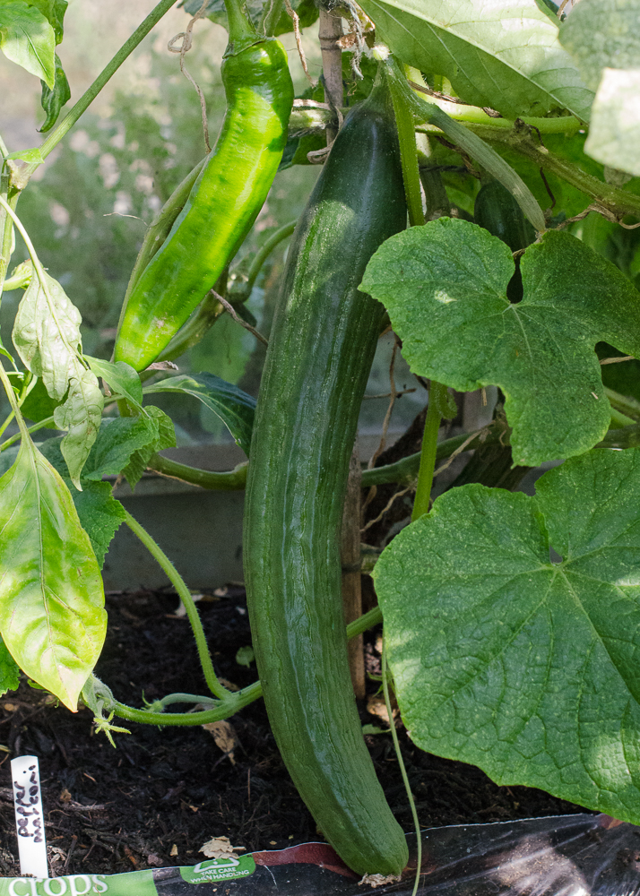grow-your-own photographic diary cucumber