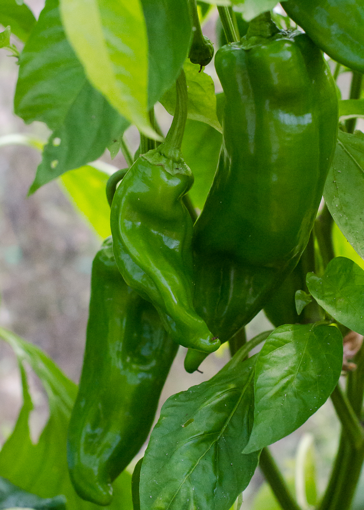 grow-your-own photographic diary peppers