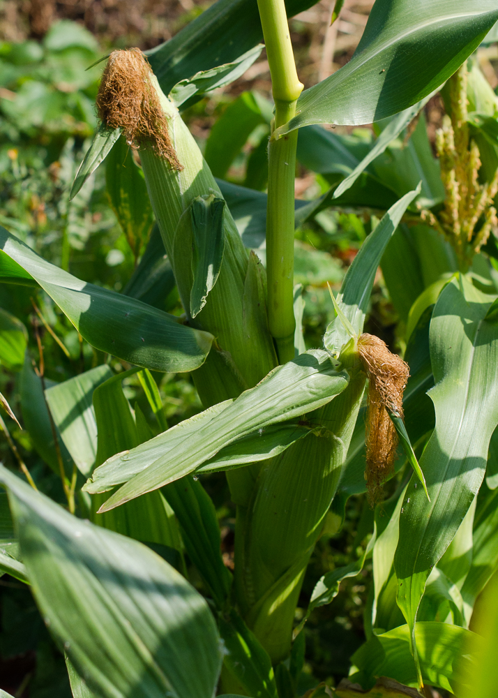 grow-your-own photographic diary sweetcorn