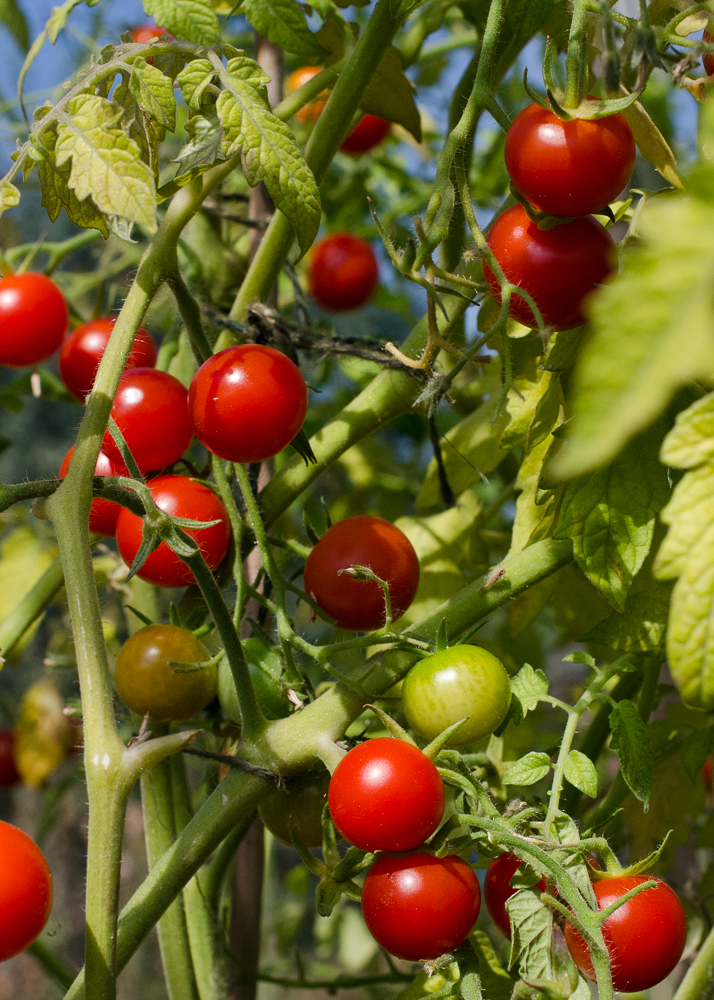grow-your-own photographic diary tomatoes