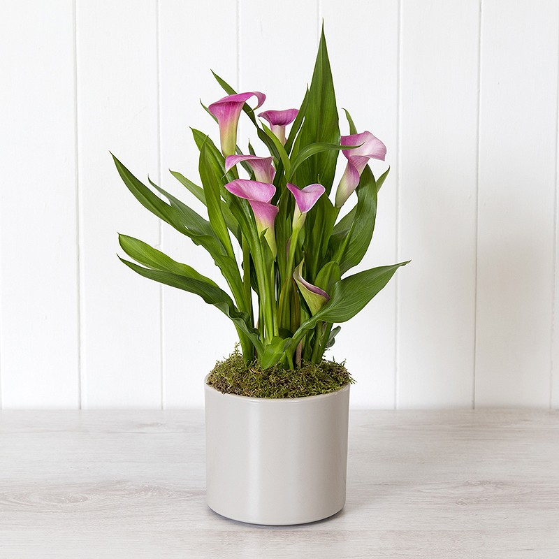 calla lily plant online plant gift from blossoming gifts