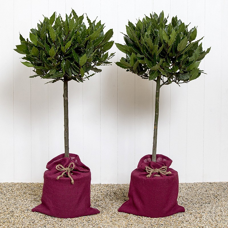 pair of bay trees online plant gift from blossoming gifts