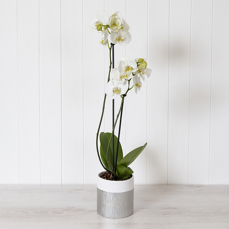white phalaenopsis orchid online plant gift from blossoming gifts