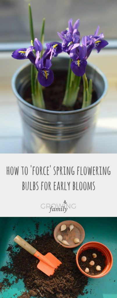 Forcing spring flowering bulbs in pots is a lovely way to bring flowers and fragrance into your home in the depths of Winter, and it's really easy!  Check out these simple step-by-step instructions on how to do it.