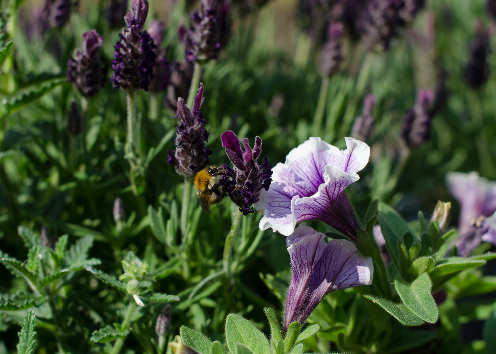 lavender flowers for bees