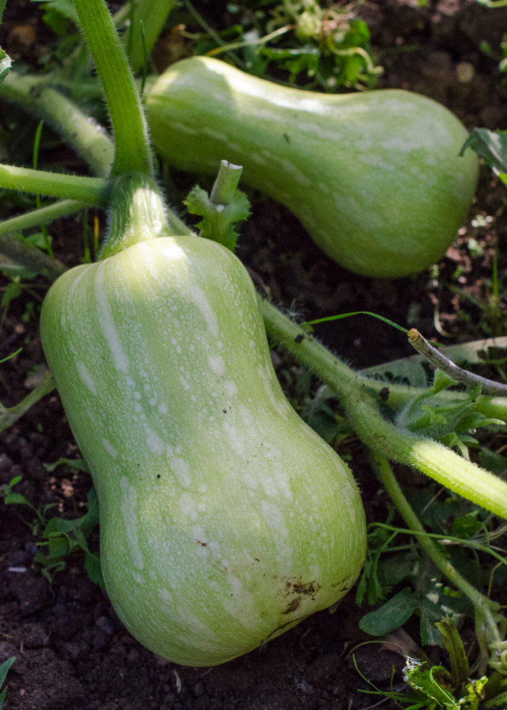 grow-your-own photographic diary butternut squash