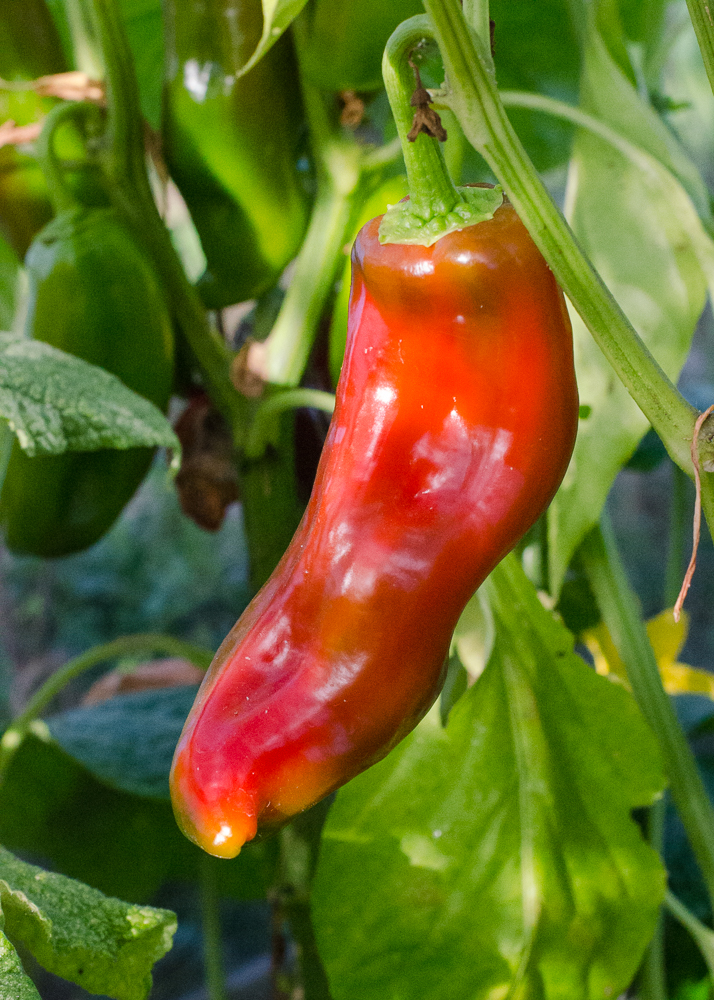 grow-your-own photographic diary sweet pointed pepper