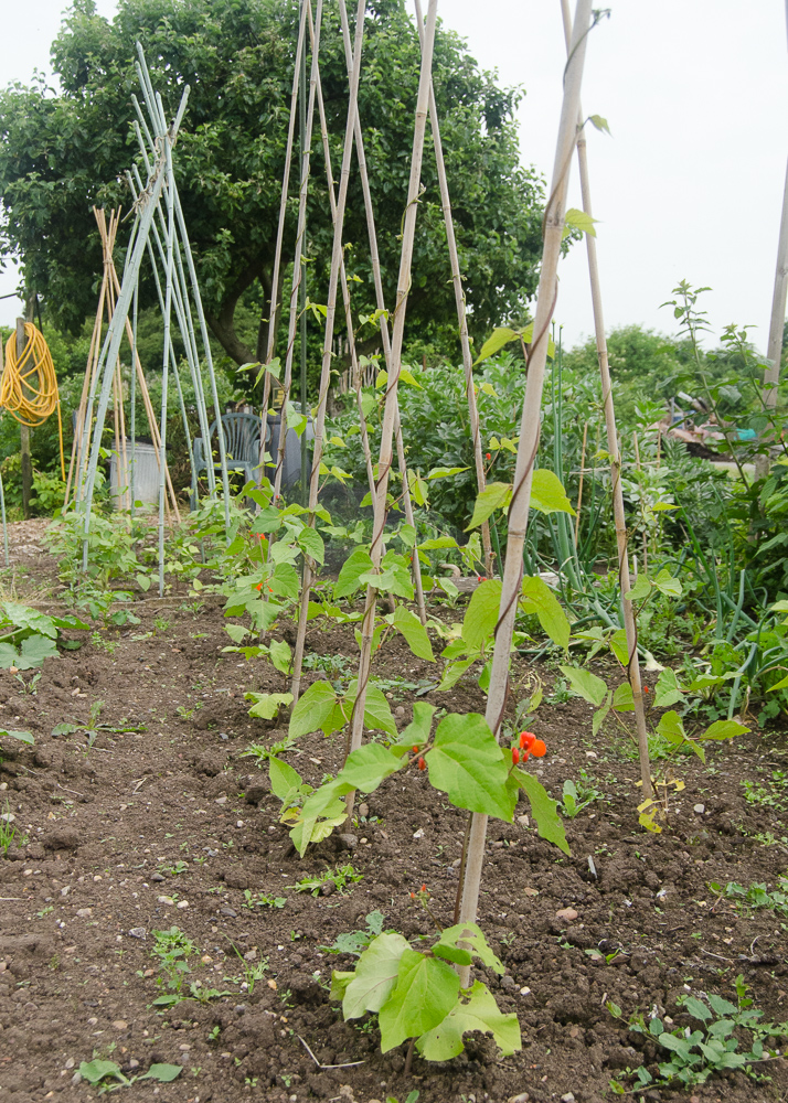 grow-your-own photographic diary runner bean plants