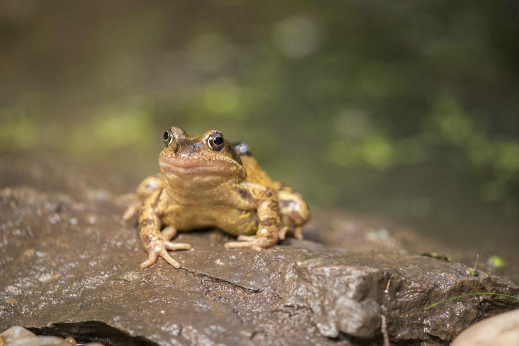 garden frog rspb images eleanor bentall