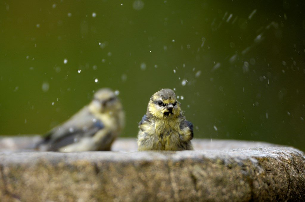 rspb images bird bath ray kennedy