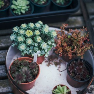 succulents on tray in garden room