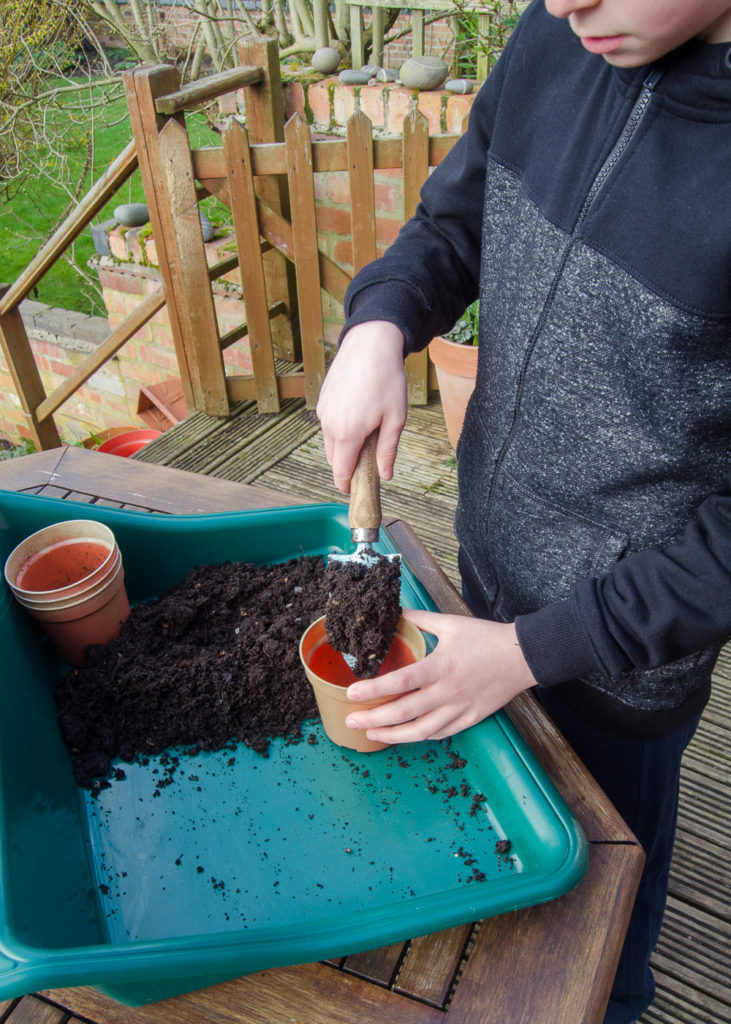 planting sunflowers - filling pots with compost