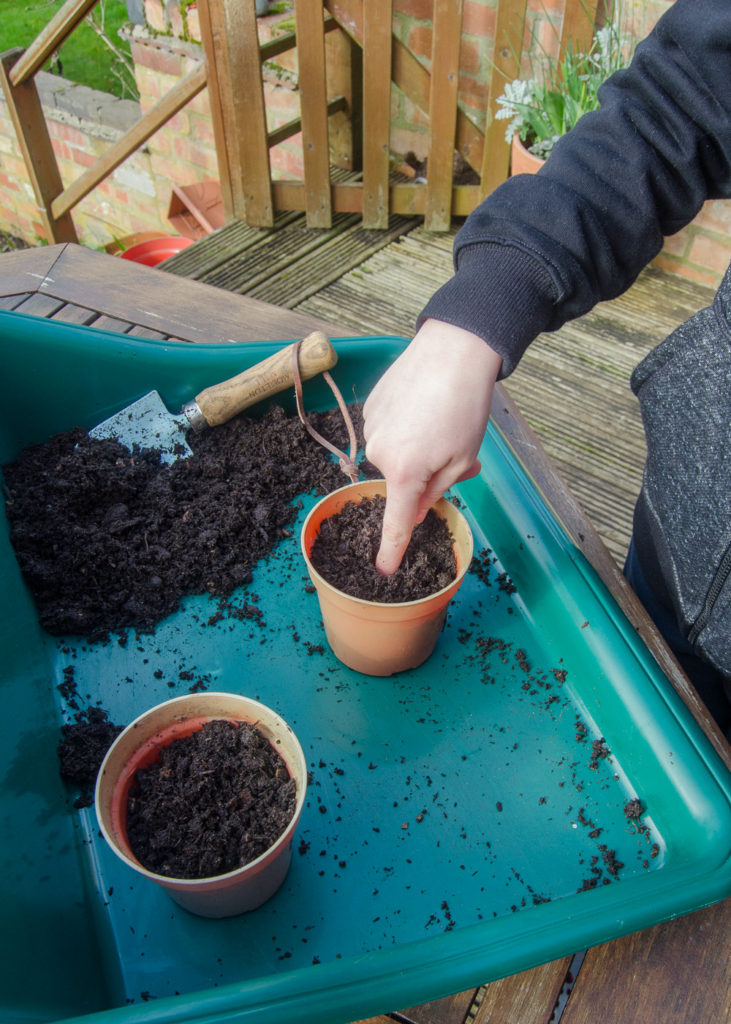 planting sunflowers - making holes in compost