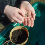 planting sunflowers - seeds on palm