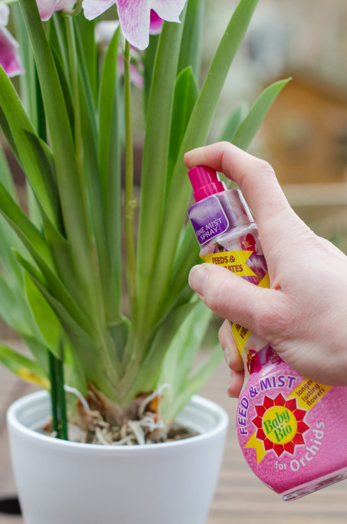 spraying orchid leaves with baby bio orchid feed and mist