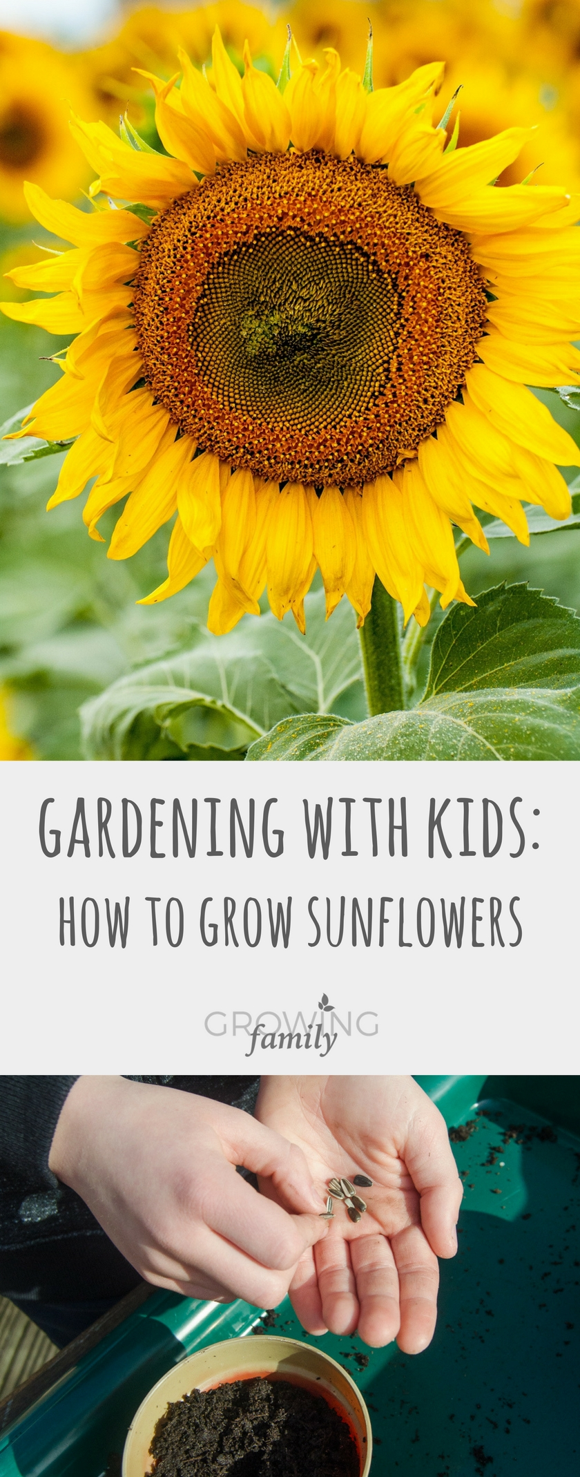 Growing sunflowers with children growing family for Growing families
