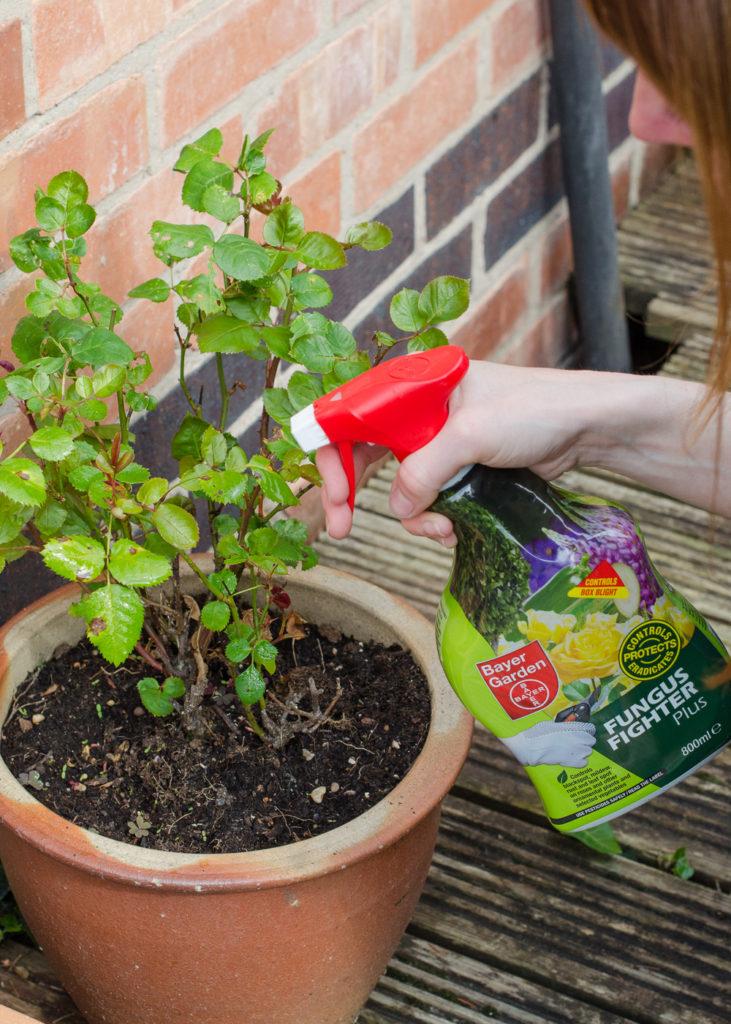 Fungus Fighter Plus roses