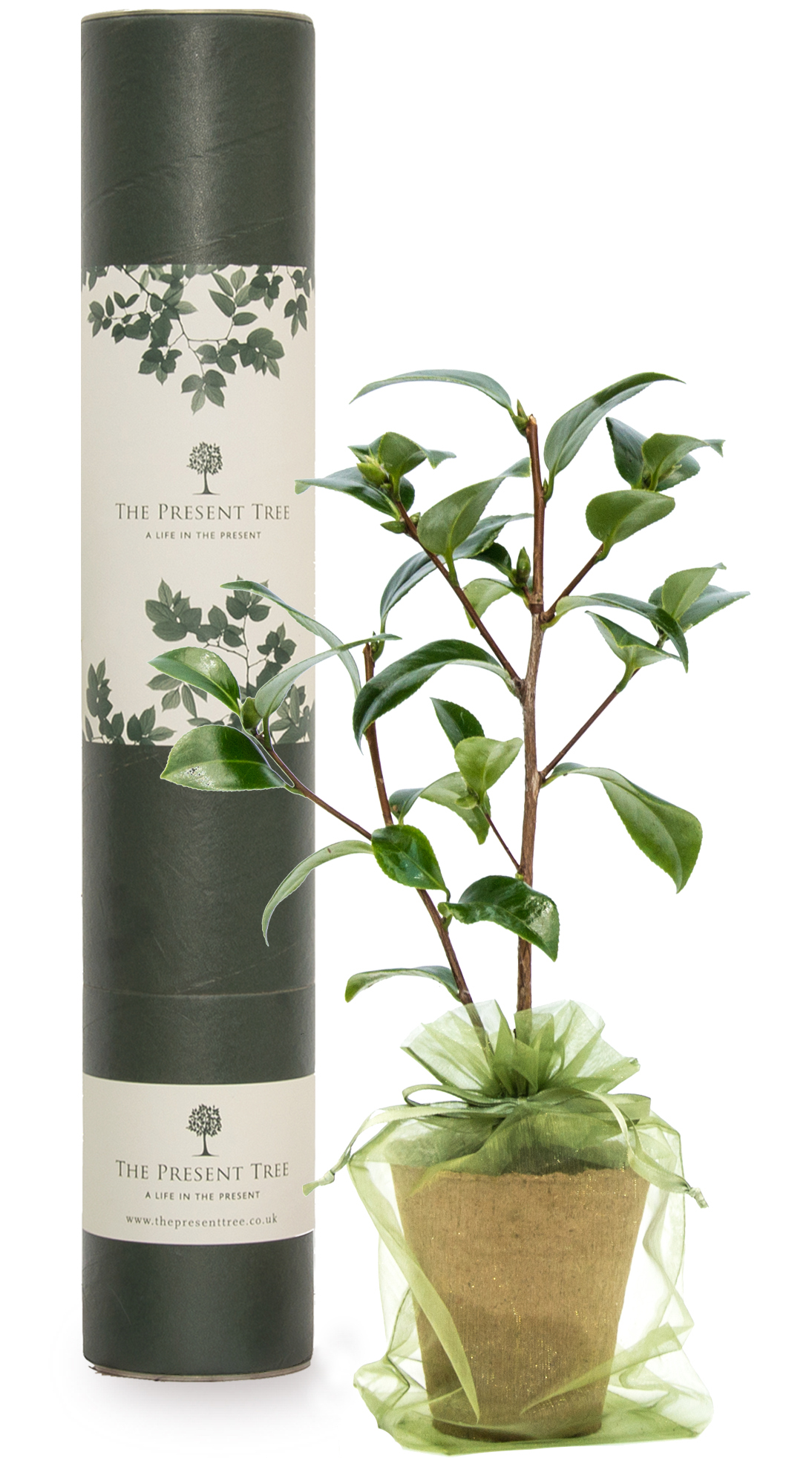 The Cherry tree will happily thriv Cherry Tree Gift | Tree Gifts | The Present Tree Buy a Cherry Tree Gift symbolising good fortune and happiness with free UK delivery when you order a .