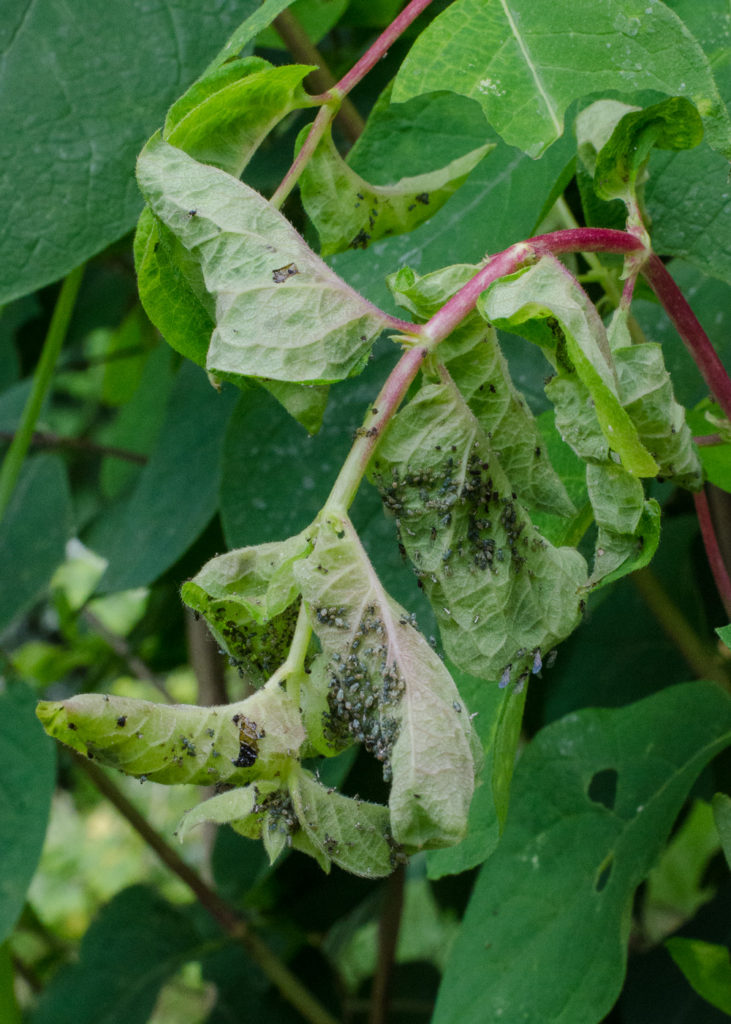 plant pests - blackfly on honeysuckle