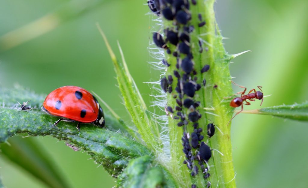 natural plant pest control - ladybirds and ants