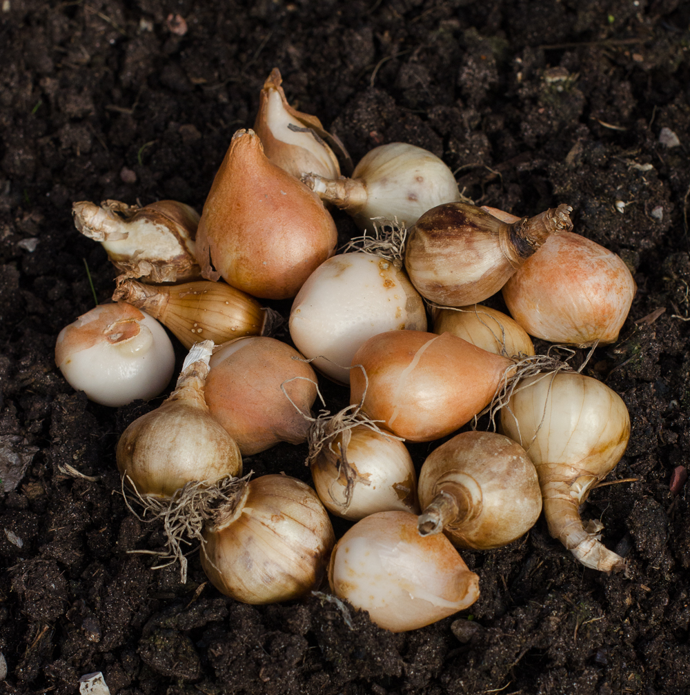 spring flowering bulbs on soil