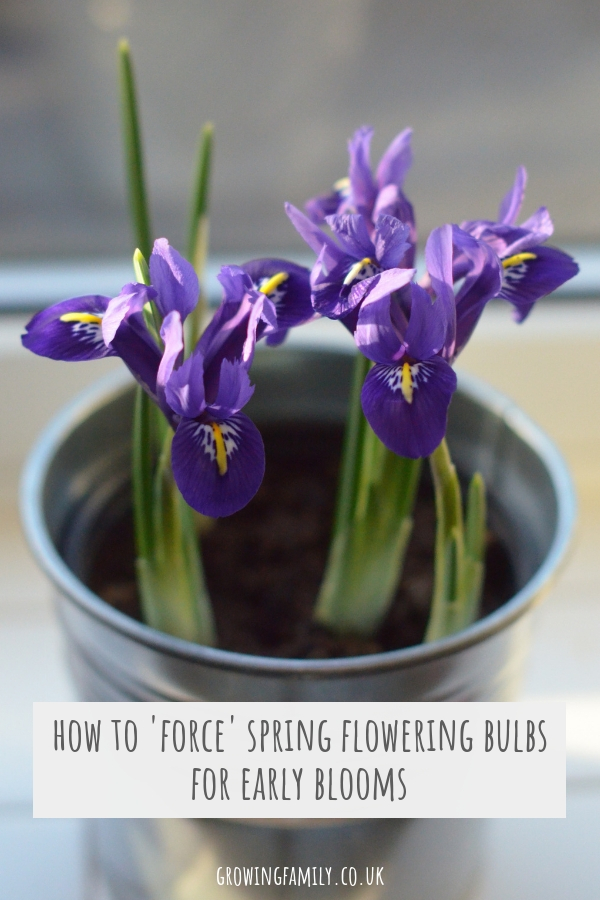 Forcing Spring flowering bulbs in pots is a lovely way to bring flowers and fragrance into your home in the depths of Winter; here's how to do it.