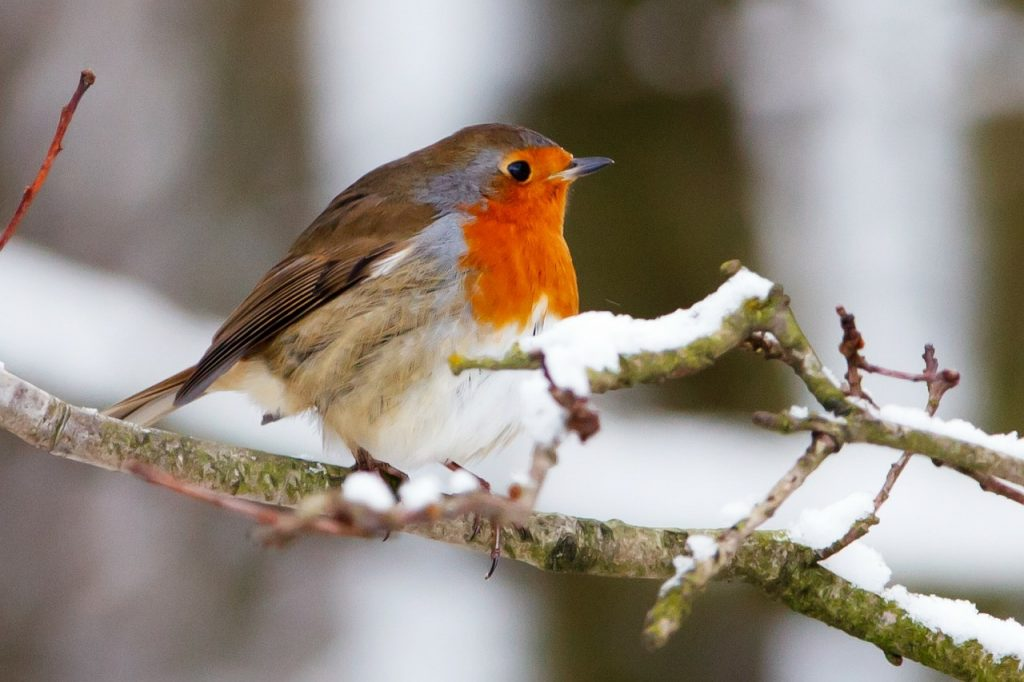 winter wildlife robin