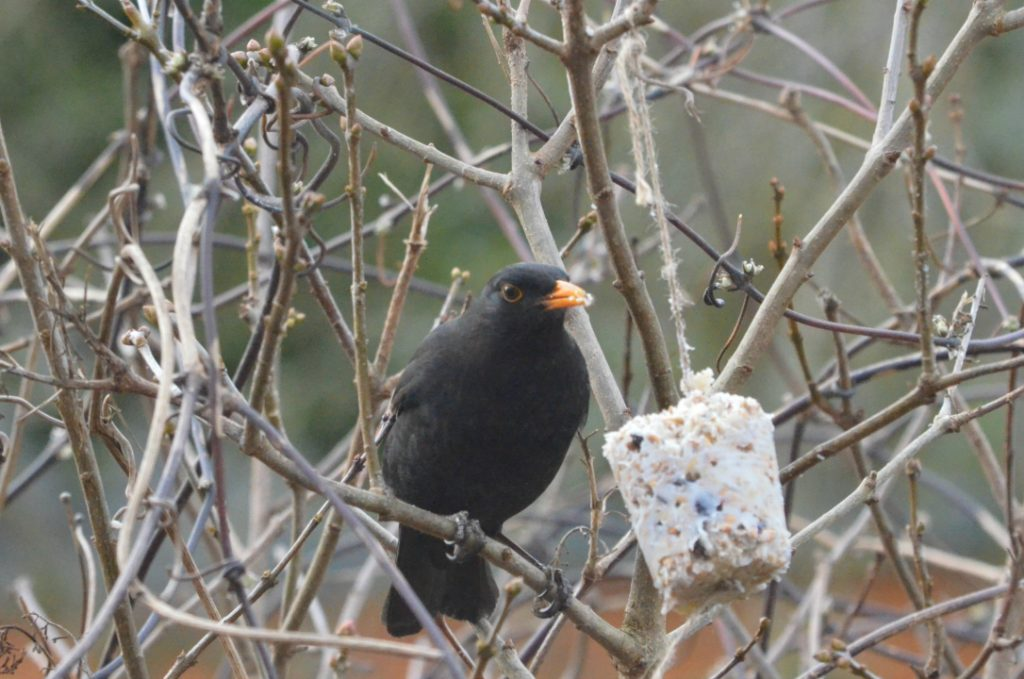 male blackbird in tree feeding on homemade bird feeders