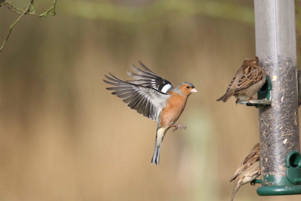 male chaffinch in flight