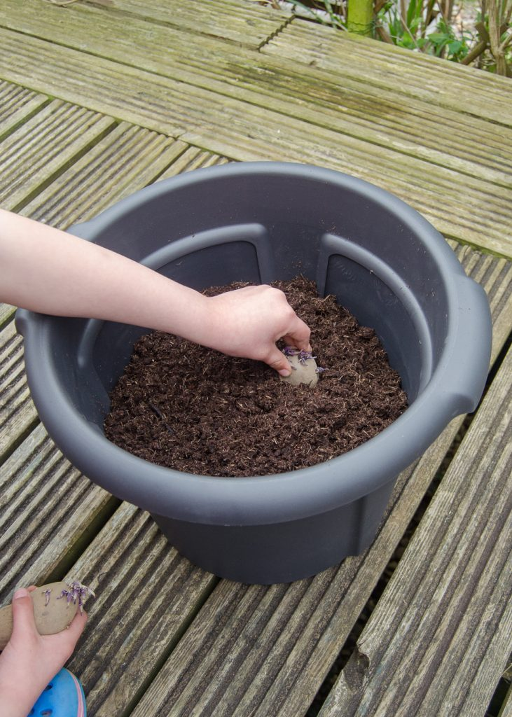 planting seed potatoes in a container