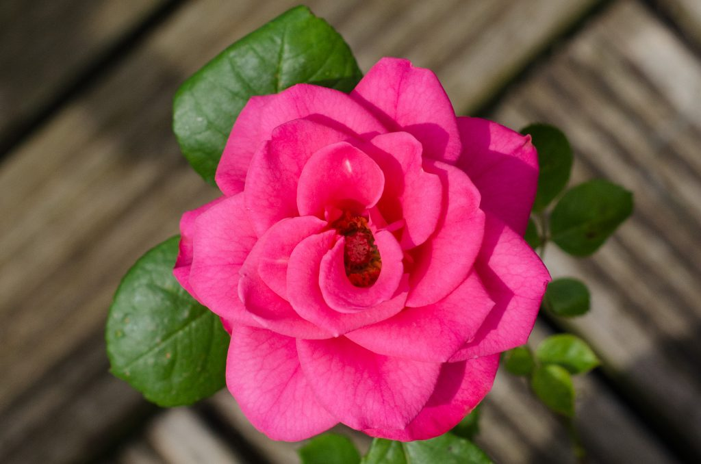 ideal plants for outdoor pots - patio rose