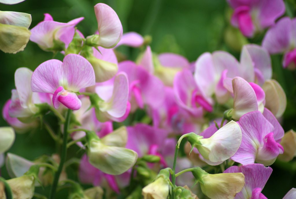 easy flowers to grow from seed: sweet peas