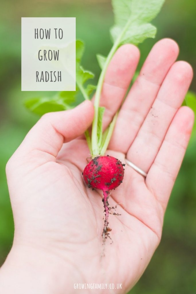 Radish can really perk up a salad, and it's so easy to grow your own. This easy guide to growing radishes will help you get a bumper harvest!
