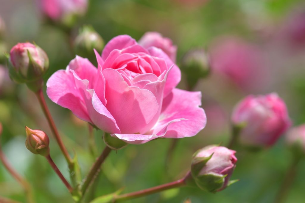 what to plant in november - rose bushes