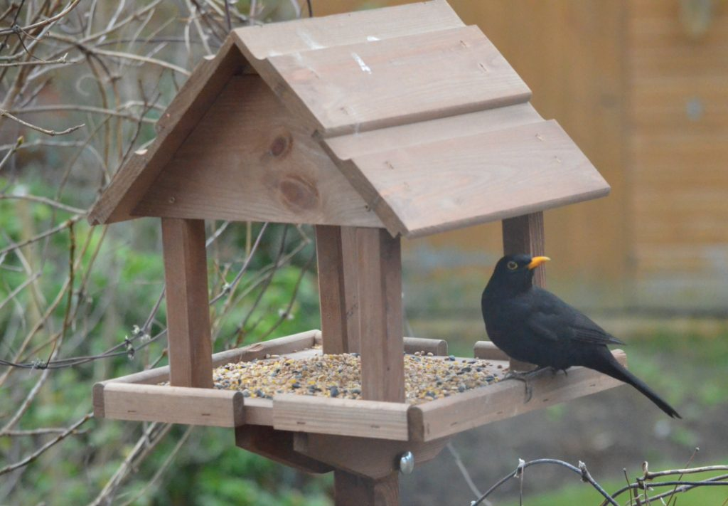 blackbird on feeding table