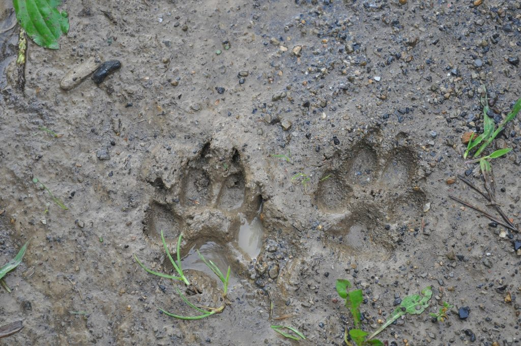 muddy paw prints