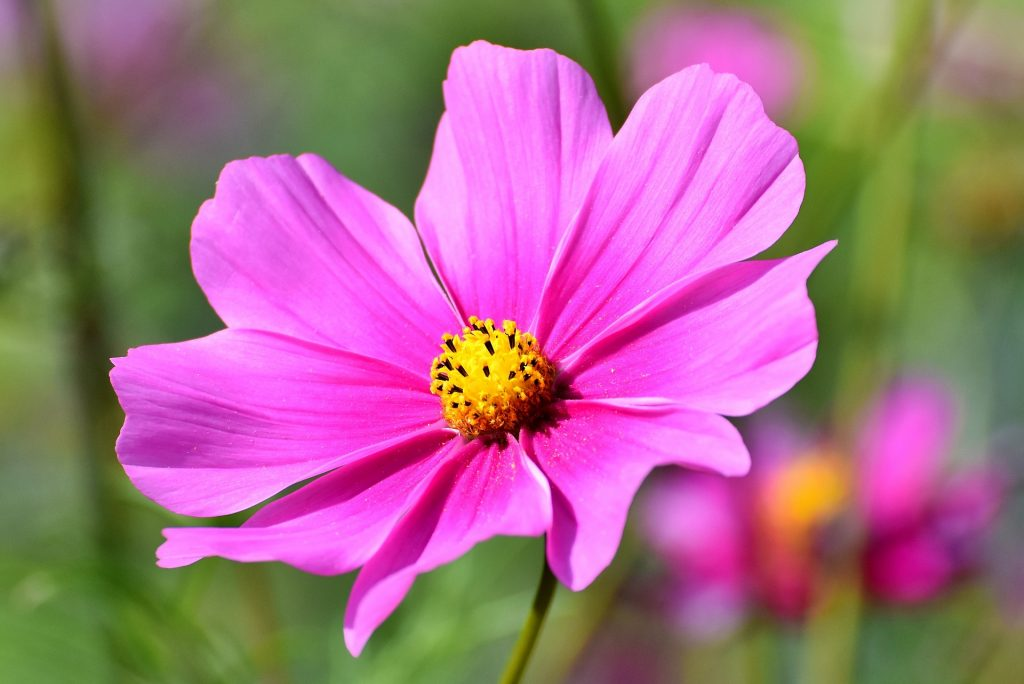 cosmos flowering plants