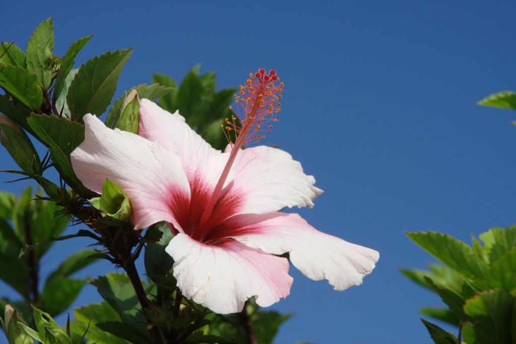 hibiscus flowering plants