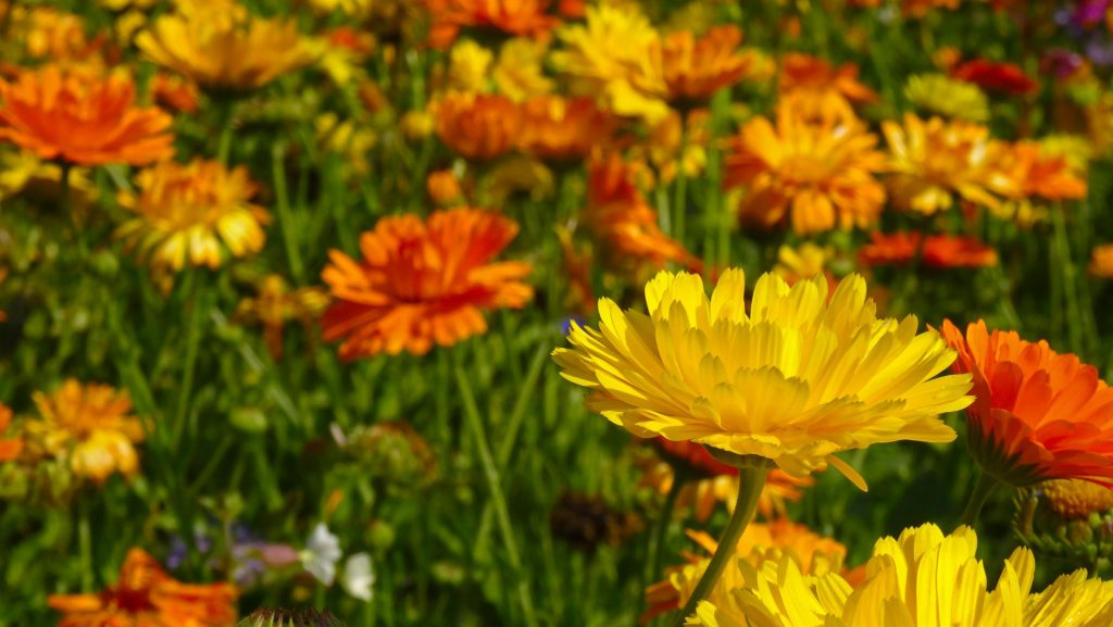 easy flowers to grow from seed: marigolds